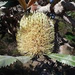 Old man Banksia (Banksia serrata) (102508)