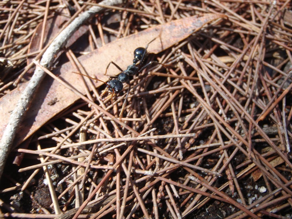 Large ant north of Leather Jacket Bay