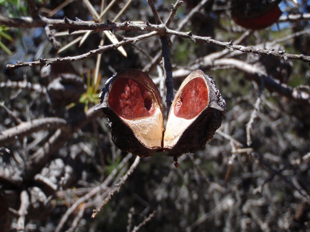 Seed pod (104368)