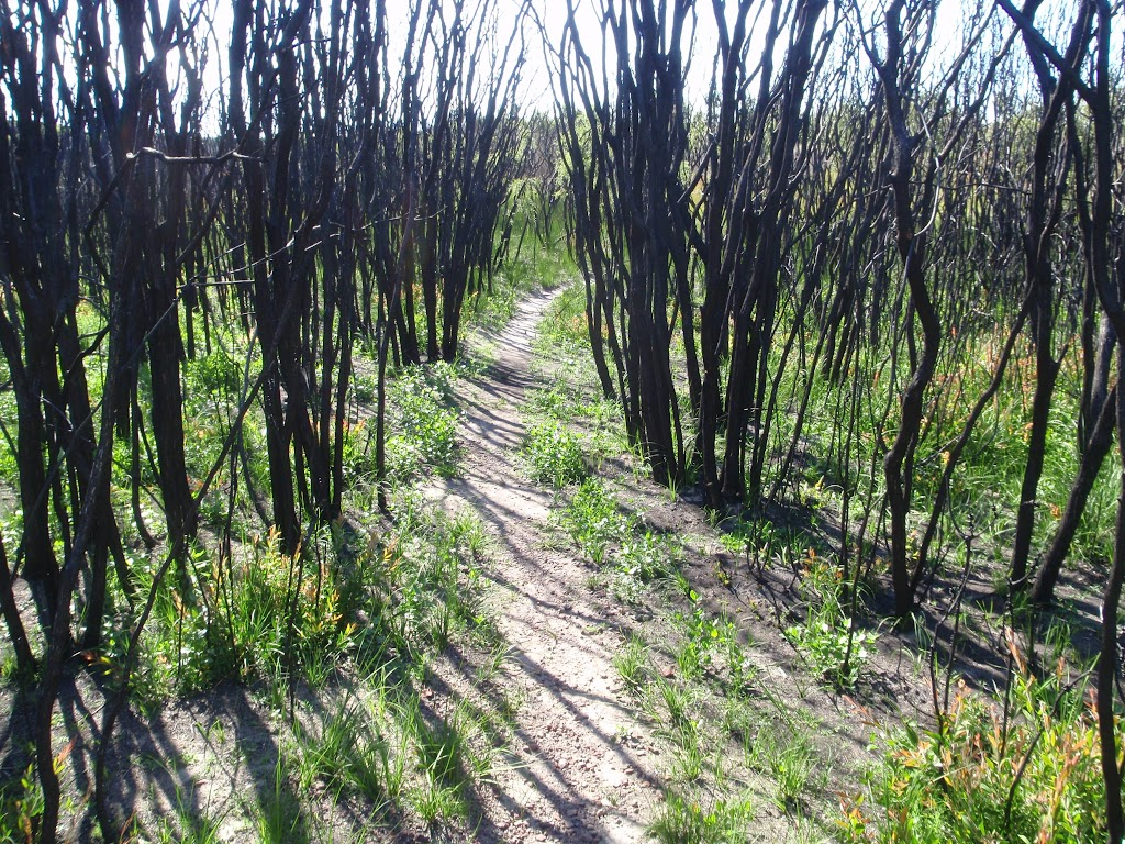 Burnt trees beside the track