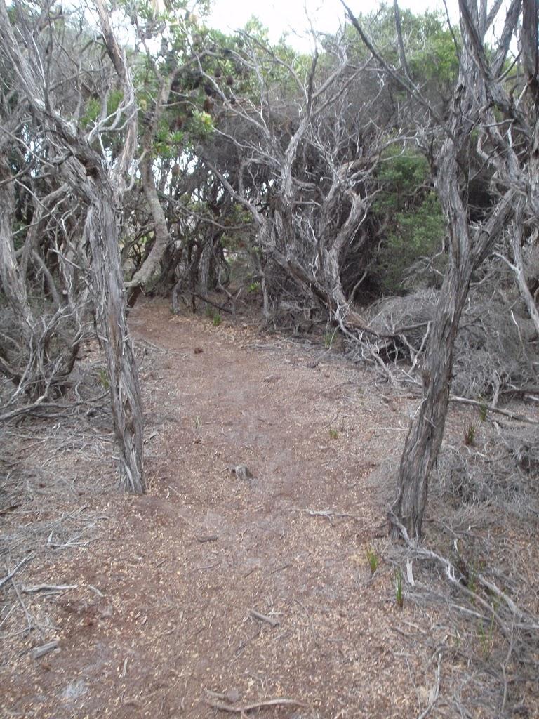 Track through the Melaleucas