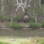 Kangaroos near Severs Beach (107923)