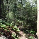 Ferns around Birrawana Track (117493)