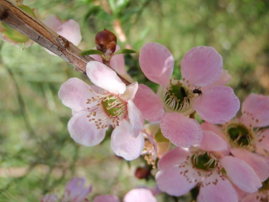 Peach-Flowered Tea Tree blossoms (Leptospermum squarrosum)  February-April