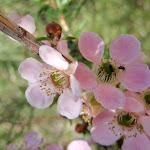 Peach-Flowered Tea Tree blossoms (Leptospermum squarrosum)  February-April (127036)