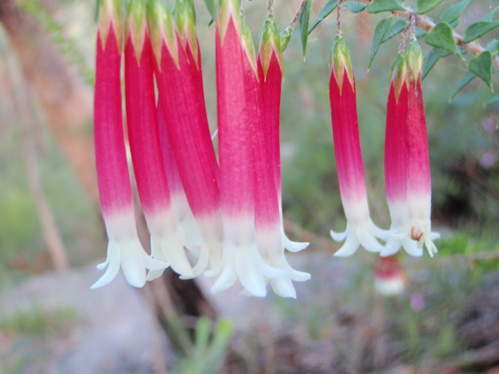 Epacris Longiflora in Garigal National Park