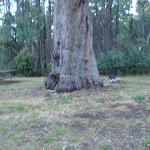 Big tree at campsite