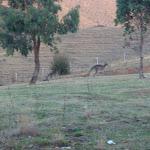 Some kangaroos