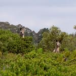 Kangaroos (14152)