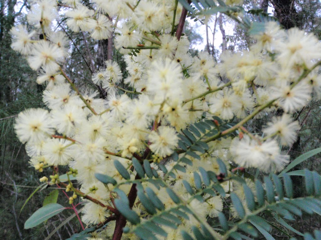 Wattle out in bloom