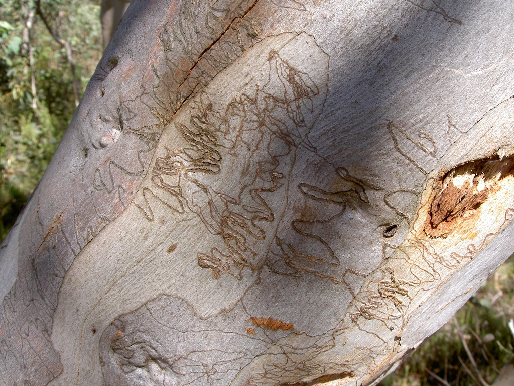 Scribbly Gum Fairfax Track (14941)