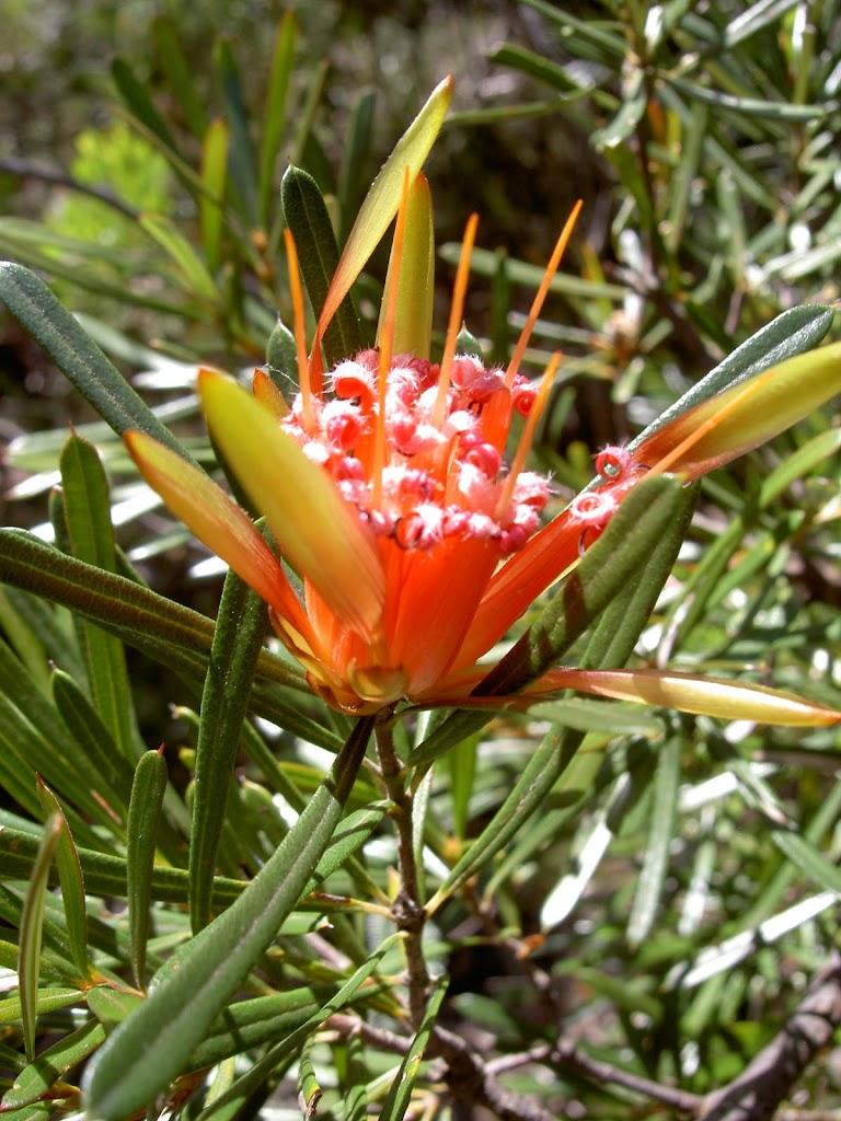 Red flower on Fairfax Track