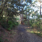Casuarinas and Eucalypts on the Blackwattle trail (152866)