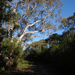 Eucalypt hanging over the Salvation Loop track
