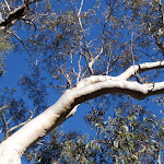 Eucalypt beside the Salvation Loop track (155143)
