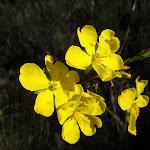 Hibbertia (Guinea Flowers) on the Wallaroo track (155788)