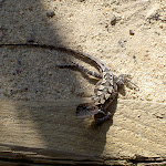 Lizard on track to Barrows Lookout