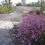 Boronia adds spring colour