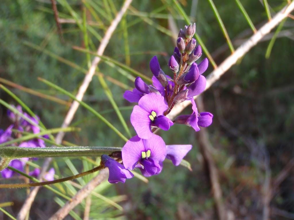 False Sarsparilla (Hardenbergia Violacea) adds a splash of colour July-October