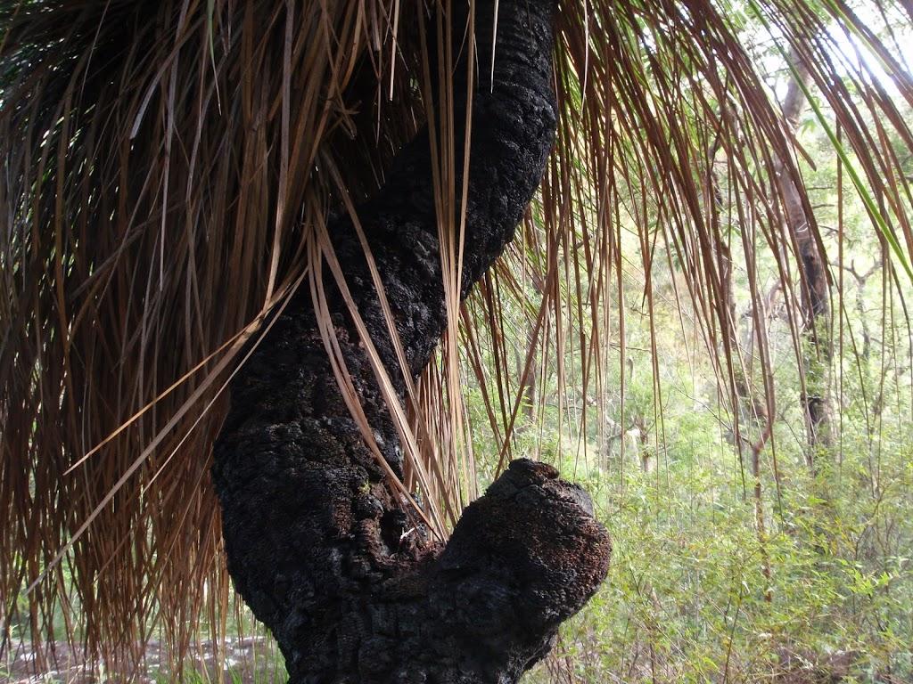 Tough looking grasstree