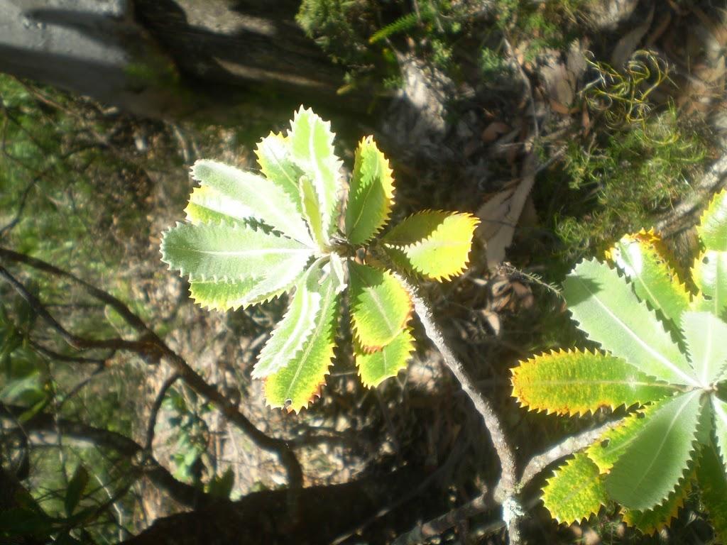Banksia Leaf