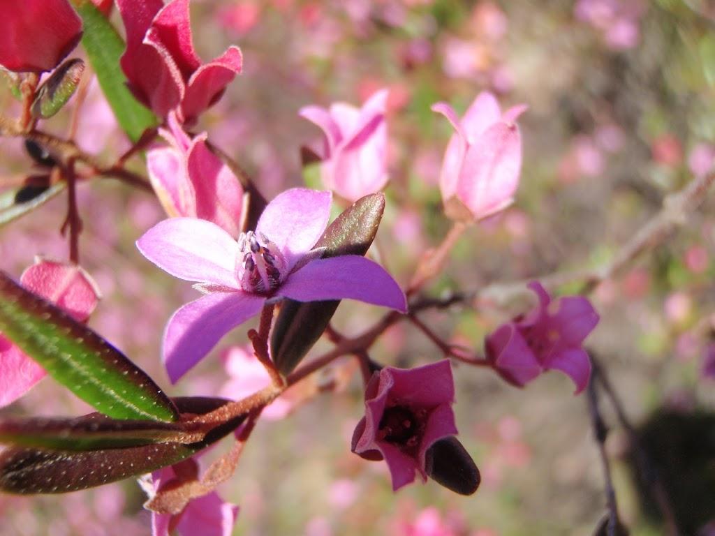 Pink Boronia wildflowers in spring