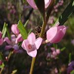 Eriostemon australasius (Pink Wax Flower) (177753)