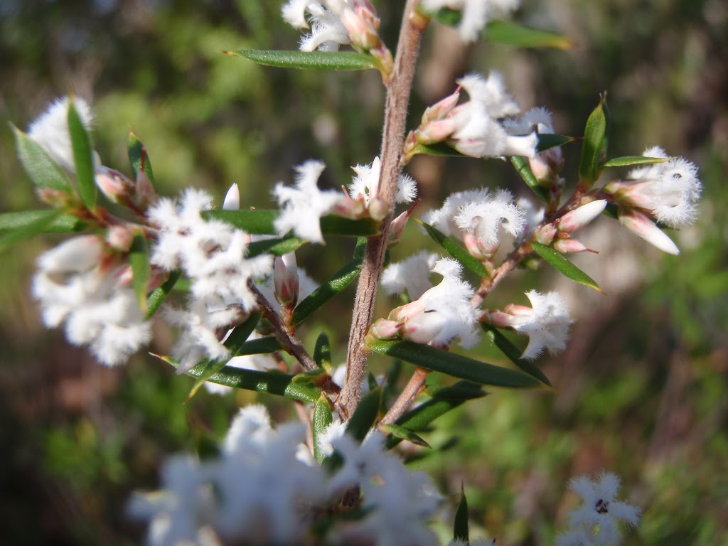 Bearded Heath flowers (Leucopogon ericoides) (177759)