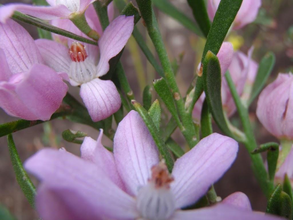 Eriostemon australasius (Pink Wax Flower) in spring