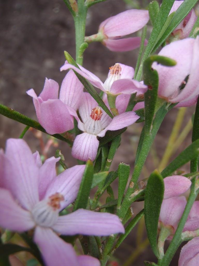 Eriostemon australasius (Pink Wax Flower)