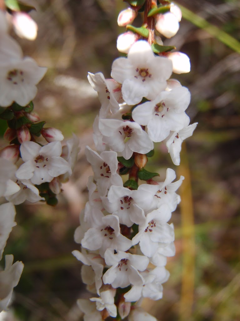 Coral Heath (Epacris microphylla)