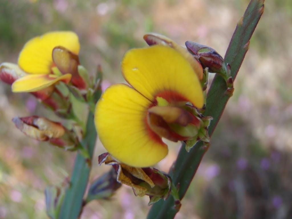 Plank plant (Bossiaea scolopendria)