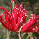 Grevillea speciosa in spring (179418)