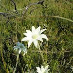 Actinotus helianthi (Flannel Flower) (18780)