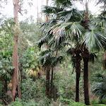 Cabbage tree palms (190997)