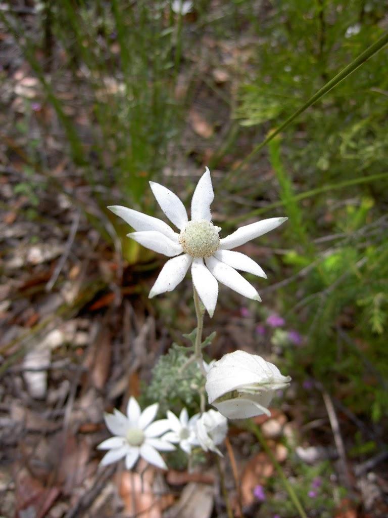 Actinosus sp. (Flannel Flower)
