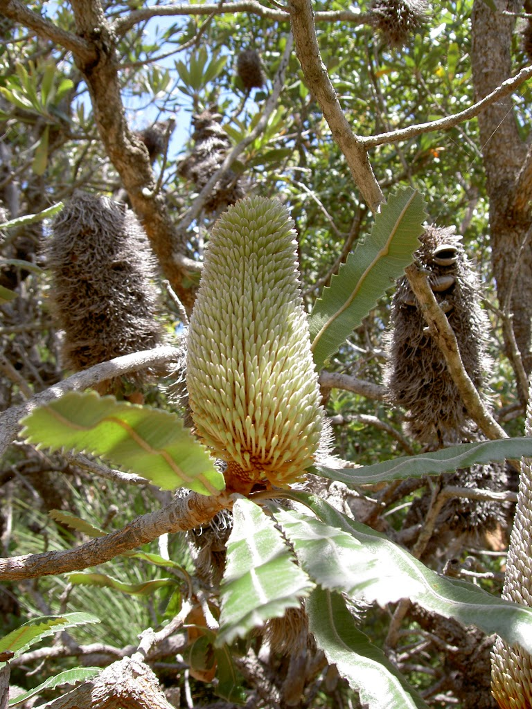Old Man Banksia (Banksia serrata) (20186)