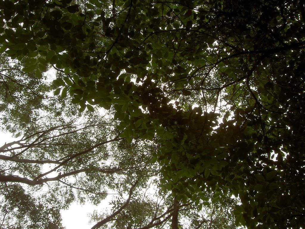 Leafy canopy above Mt Bouddi Track