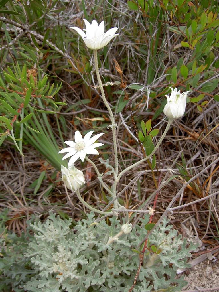 Actinotus helianthi (Flannel Flower) (21632)