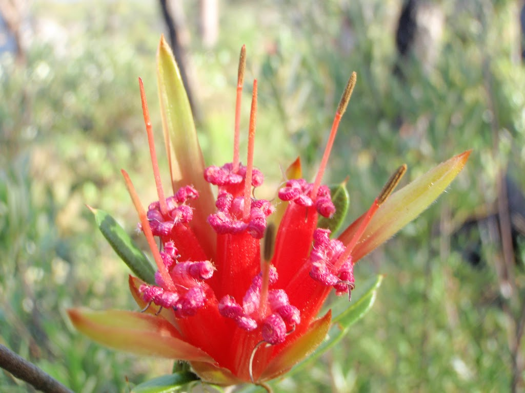 Lambertia formosa (Mountain Devil)