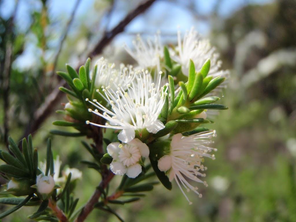 Tick Bush (Kunzea ambigua) in bloom