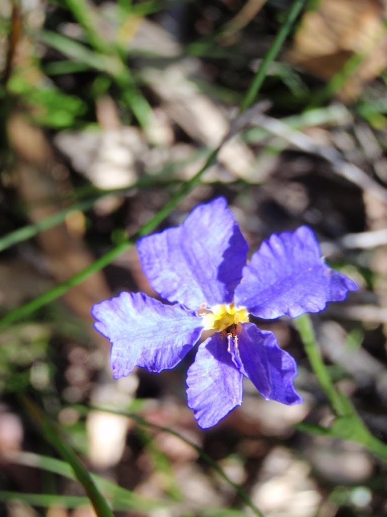 Dampiera Stricta Flowers in Spring