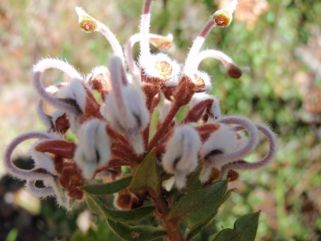 Grevillea Buxifolia (Grey Spider Flower)