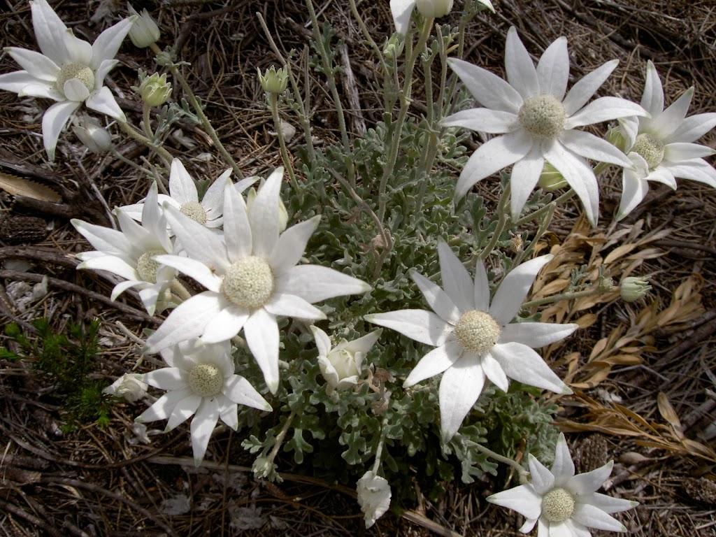 Actinotus helianthi (Flannel Flowers)