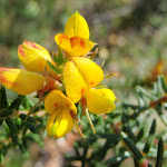 A lovely yellow pea flower (221465)