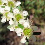 Baeckea diosmifolia in spring (221513)