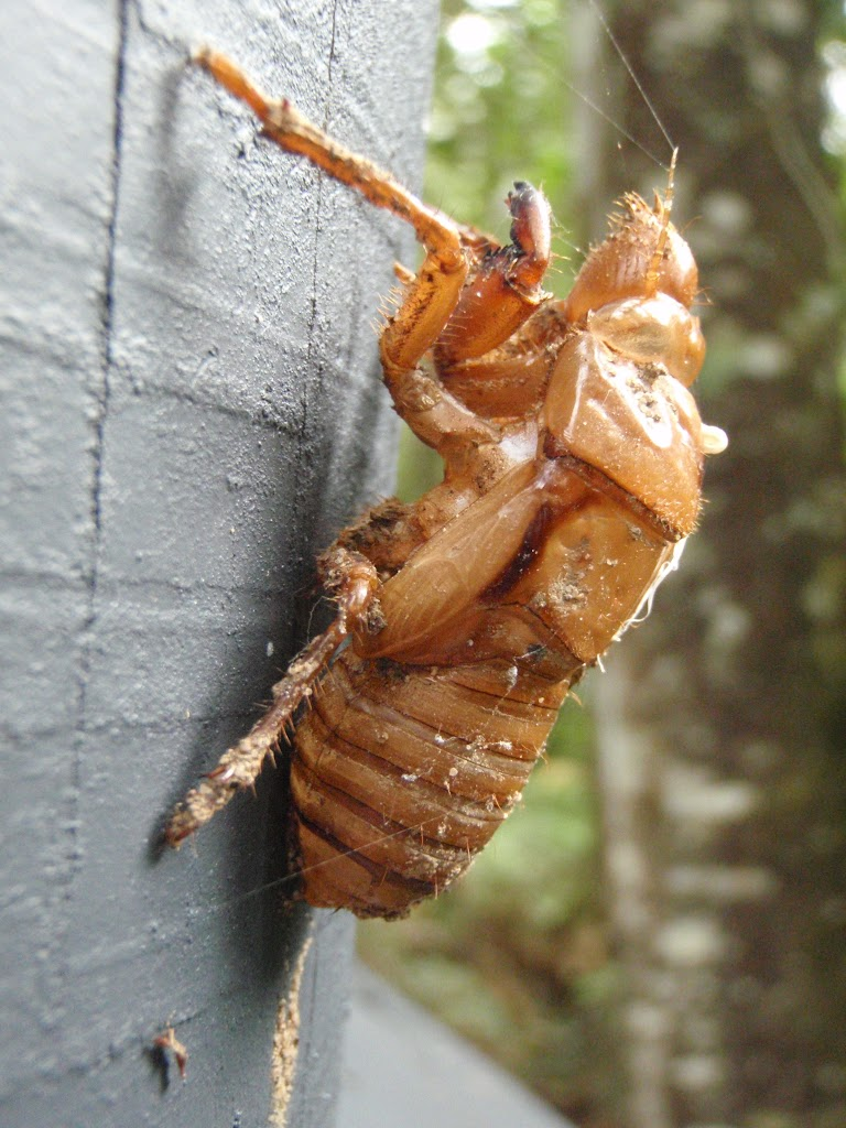 Cicada shell at Seymour Pond (226564)
