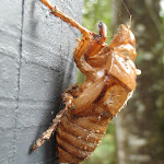 Cicada shell at Seymour Pond