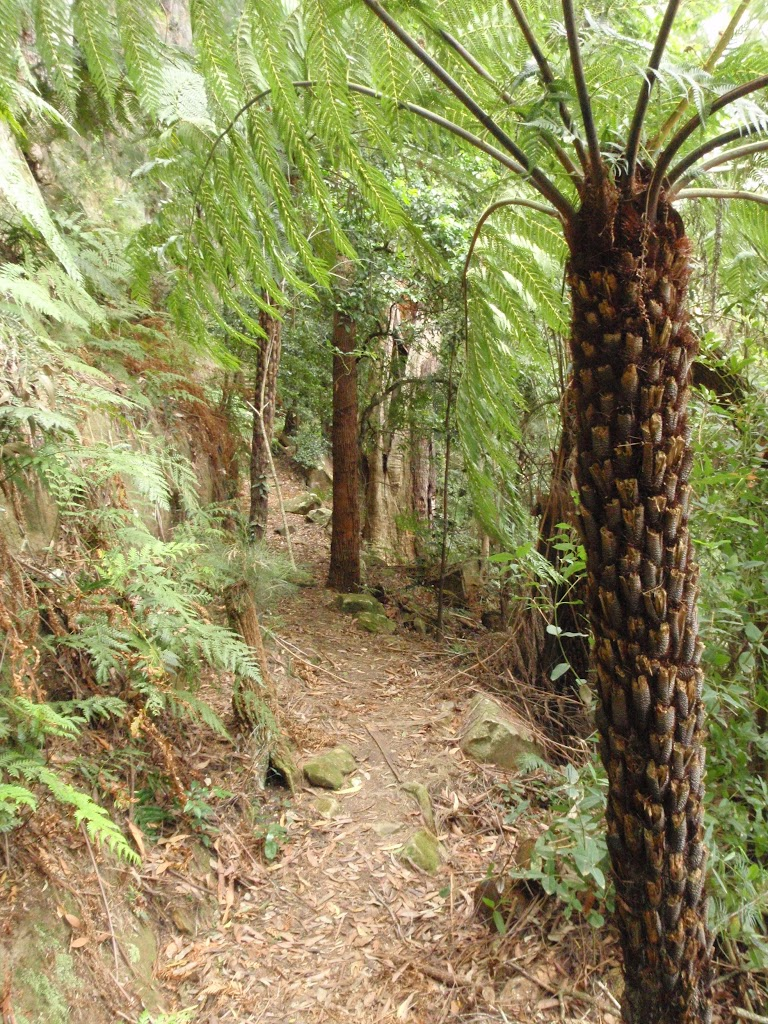 Fern Tree on the Guringai Walk (227608)