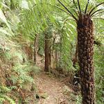 Fern Tree on the Guringai Walk (227608)